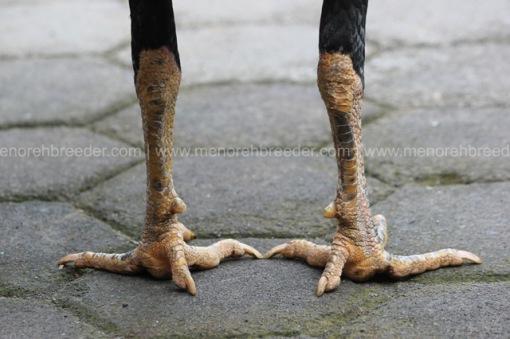 sisik kaki ayam pukul