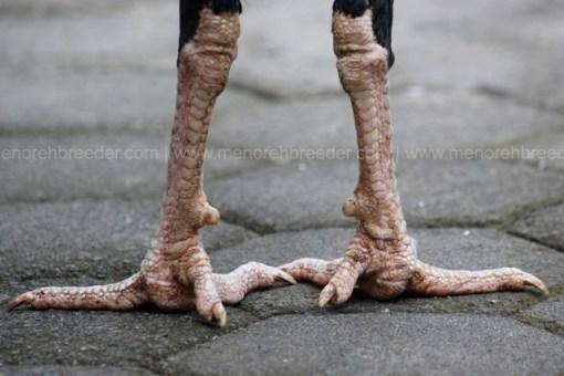 sisik kaki belakang ayam adu