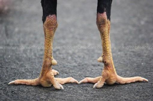 sisik kaki belakang katuranggan