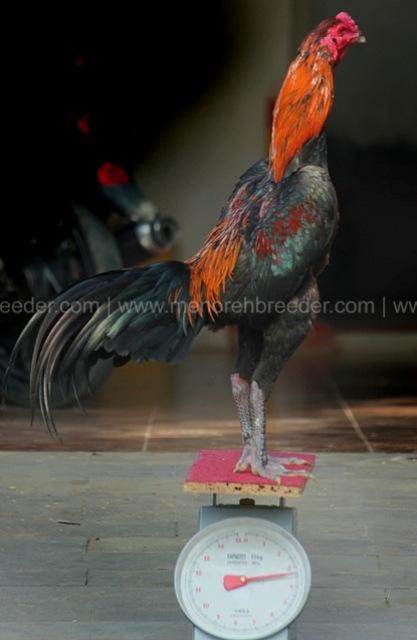 berat ukuran ayam adu