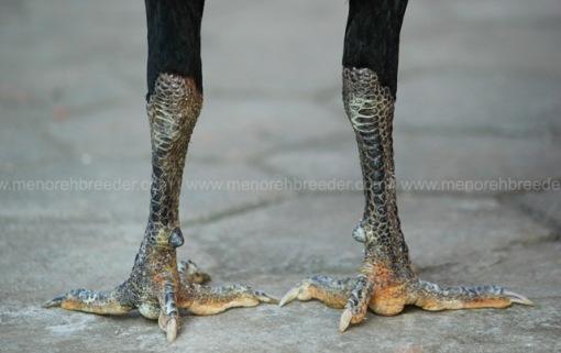 sisik kaki ayam jawara