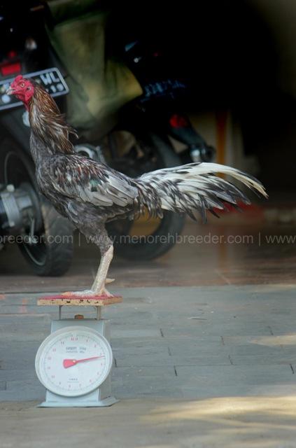 ukuran ayam adu