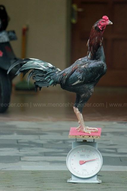 ukuran ayam pakhoy