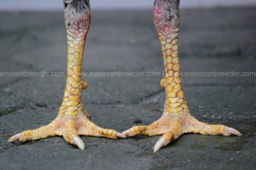 kaki ayam pukul ko