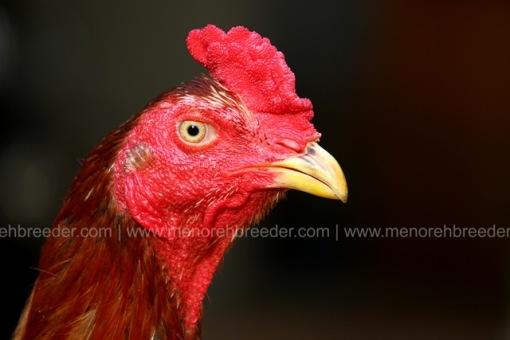 kepala ayam magon