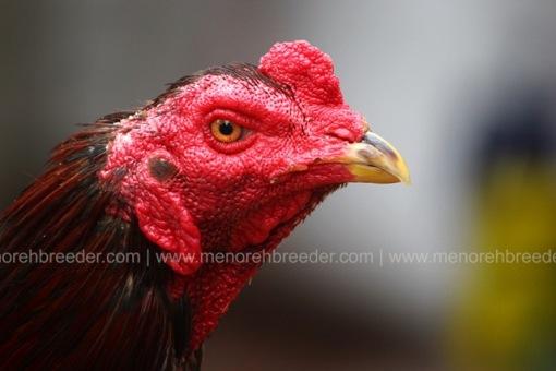 kepala ayam petarung.