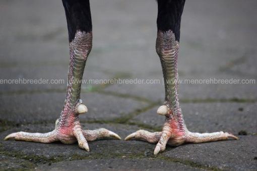 sisik kaki ayam pukul ko.