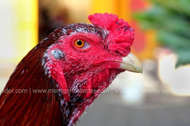 ayam super
