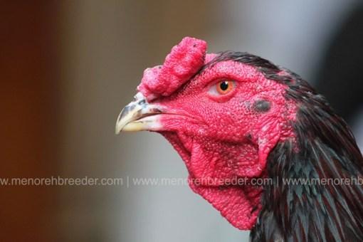kepala ayam bangkok saigon.
