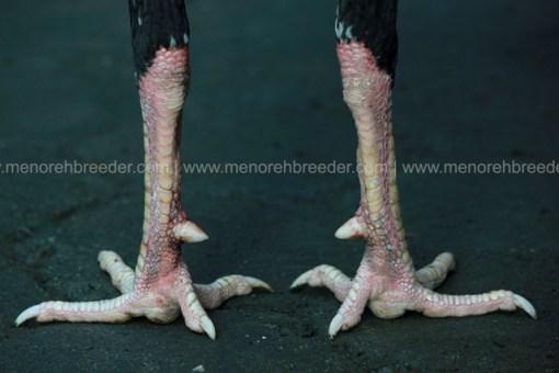 sisik kaki ayam aduan istimewa
