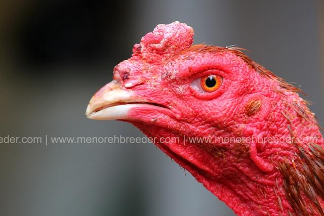 ayam kepala iq.
