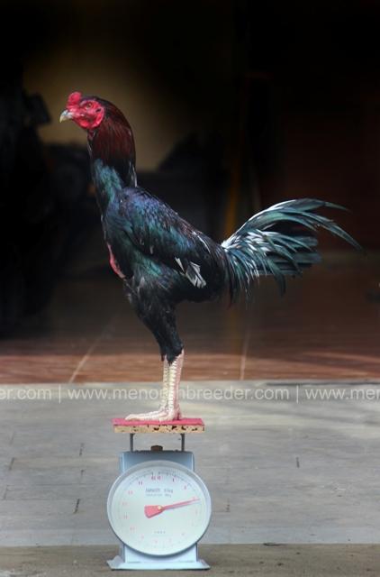 berat ayam aduan bangkok