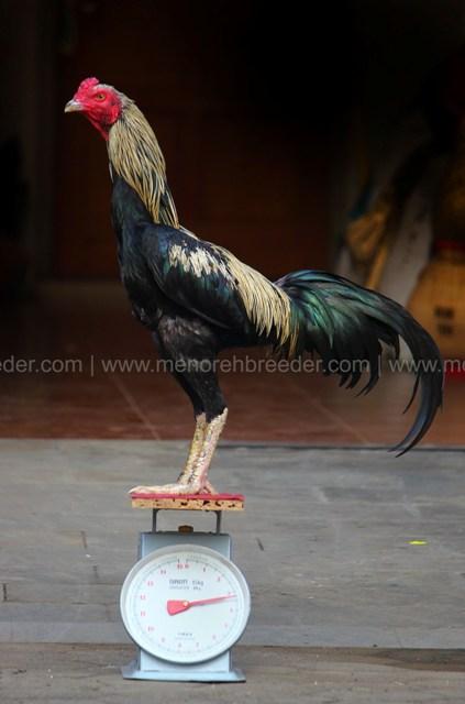 berat ayam aduan mathai