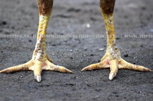kaki kering ayam betina