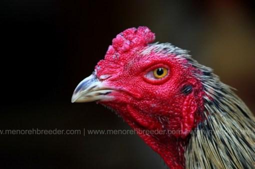 kepala ayam aduan super.