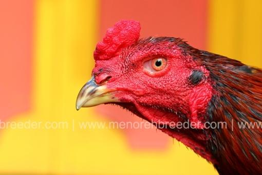 kepala ayam kejam