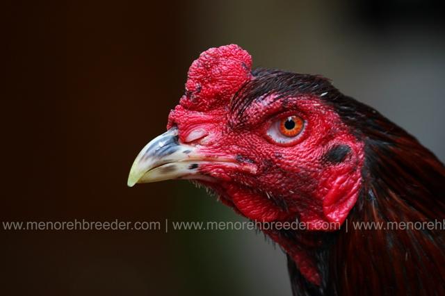 kepala ayam teknik.