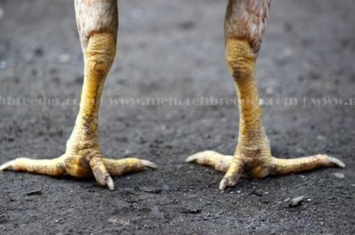 sisik kaki ayam juara.