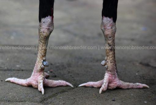 sisik kaki katuranggam