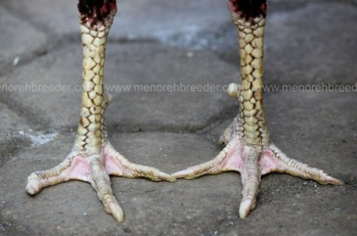 sisik kaki katuranggan ayam pukul ko.