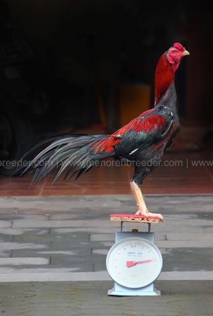 berat ukuran ayam aduan
