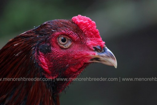 kepala ayam muda