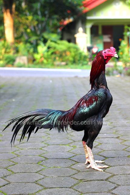 ayam aduan trah jura