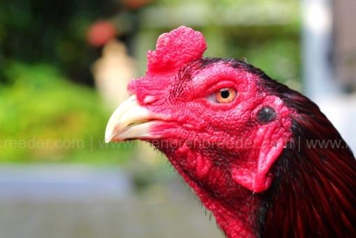 ayam kejam