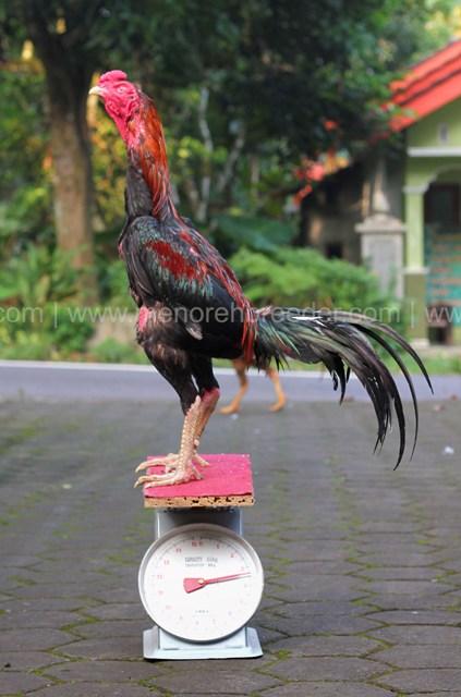 berat ayam adu