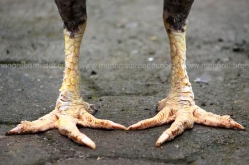 kaki ayam indukan super