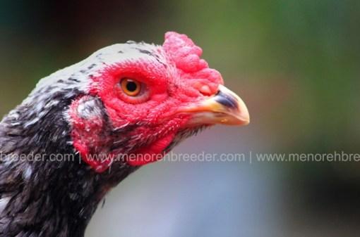 kepala ayam betina super