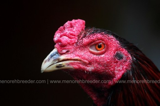 kepala ayam super