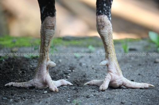sisik kaki ayam naga temurun