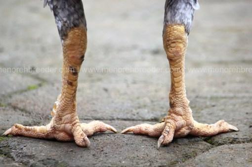 sisik kaki indukan super