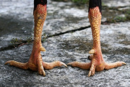 sisik kaki juara