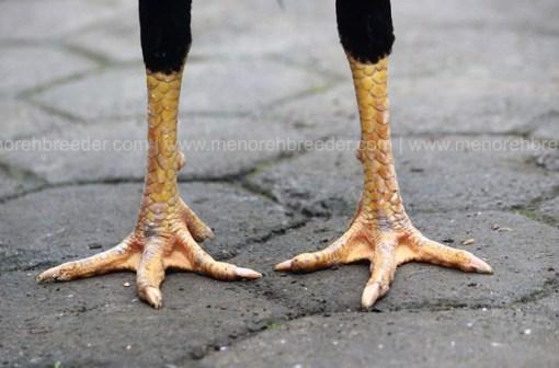 sisik kaki pukul ko