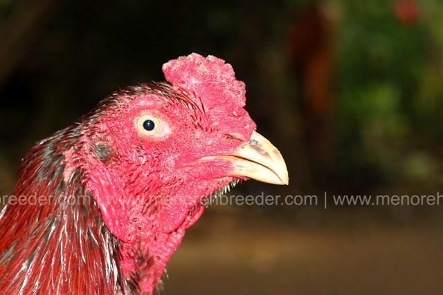 kepala ayam aduan super