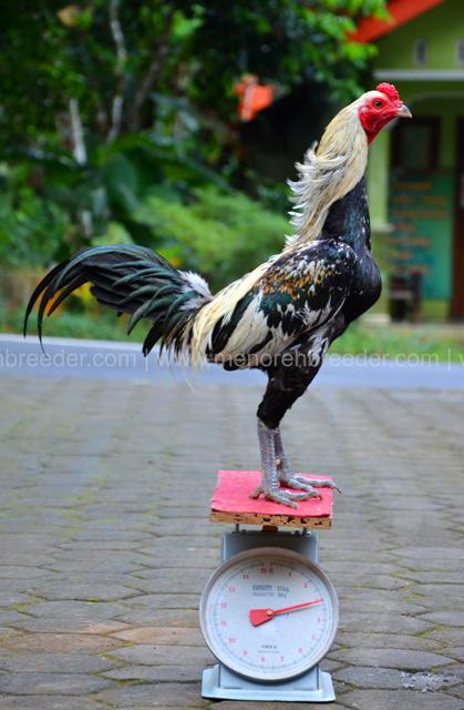 berat ayam aduan birma