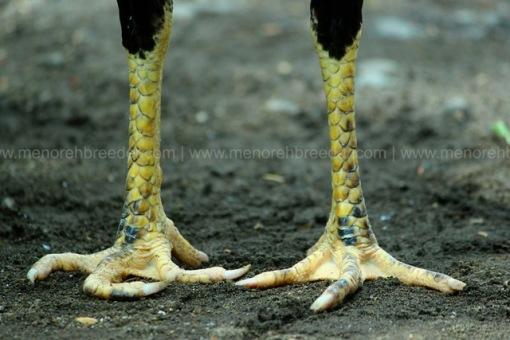 kaki ayam 4