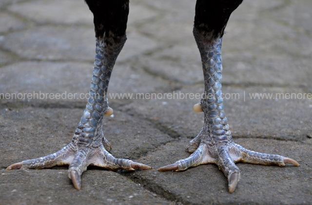 kaki ayam birma ori