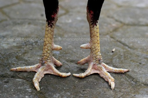 kaki-ayam-jawara