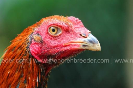kepala ayam 1