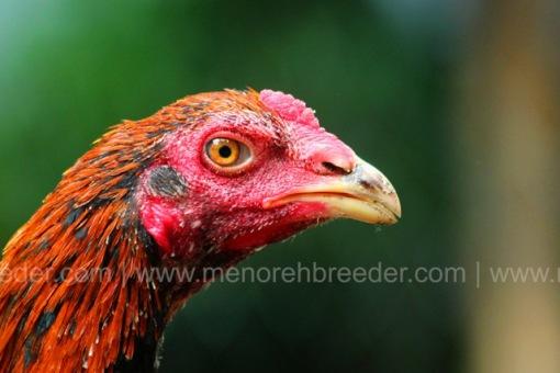 kepala ayam 2