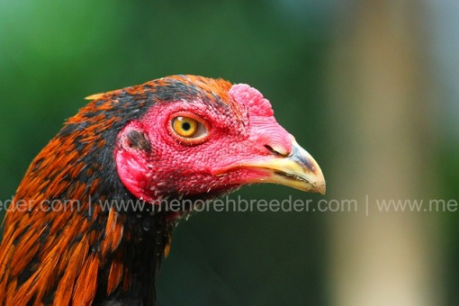 kepala ayam 3