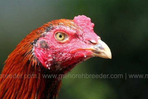 kepala ayam 4