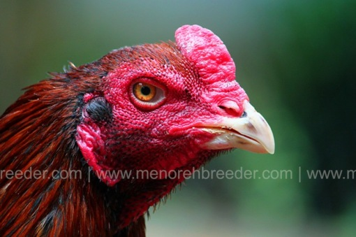 kepala ayam mthai