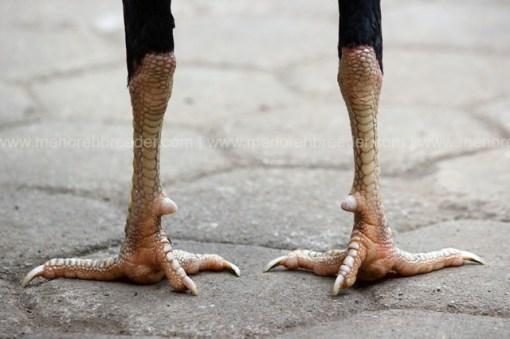 sisik kaki ayam aduan super