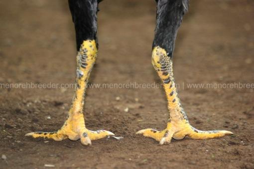sisik kaki ayam saigon