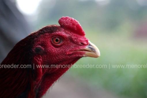 kepala-ayam-jawara