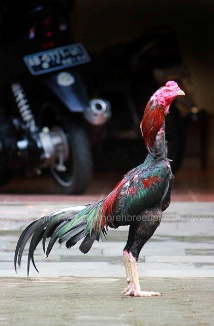 ayam-aduan-super